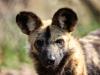 20090409_467-Vild hunde, Reepark